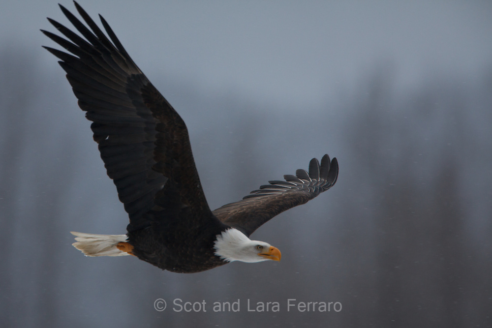 An American Bald Eagle (Haliaeetus leucocephalus) flies over the Chilkat River.