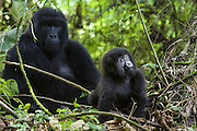 Mountain Gorilla<br /> Gorilla gorilla beringei<br /> One year old baby exploring<br /> Parc National des Volcans, Rwanda<br /> *Endangered species