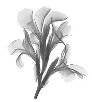 X-ray image of canna lily flowers (Canna, black on white) by Jim Wehtje, specialist in x-ray art and design images.