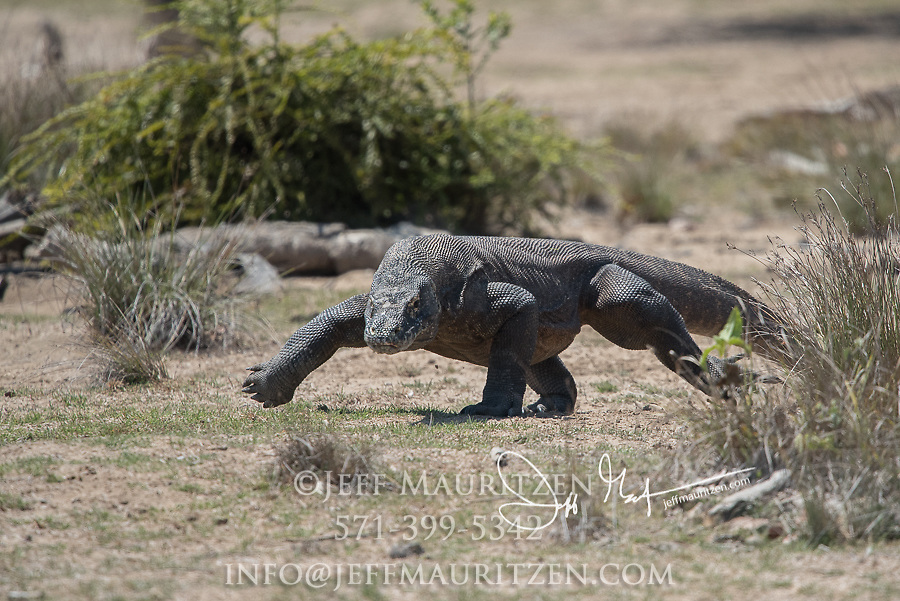 A Komodo dragon running on Rica Island, part of the Komodo National Park in Indonesia