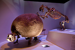 Stock photo of a Xenosmilus Saber-toothed Cat attacking a Glyptodon on display at the new Paleontology Hall at the Houston Museum of Natural Science