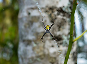 A female Hawaiian Garden Spider (Argiope Appensa) waits in its web at Allerton Garden, Kauai, Hawaii, USA. Introduced to Hawaii, the Hawaiian Garden Spider (Argiope Appensa) is found on several islands in the western Pacific Ocean from Taiwan to Guam to New Guinea. The females are strikingly black and yellow 2-2.5 inches long, while the males are brown and much smaller at 0.75 inches. Allerton Garden, on the south shore of Kauai, Hawaii, USA. Address: 4425 Lawai Rd, Koloa, HI 96756. Nestled in a valley transected by the Lawai Stream ending in Lawai Bay, Allerton Garden is one of five gardens of the non-profit National Tropical Botanical Garden (ntbg.org).
