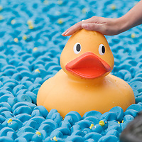 Hampton Court England Aug 31st  The Great British Duck Race a fundraisng event  on the river Thames where 250,000 blue plastic ducks have been sent down the river  in an attempt to beat the previous world record
