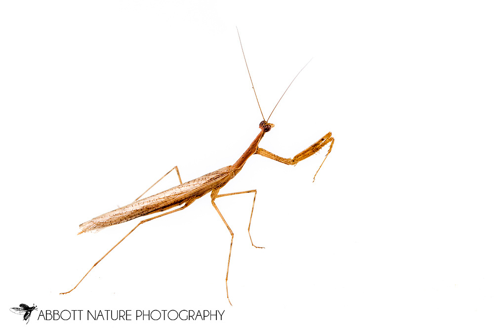 Mantid (Oligonicella scudderi)<br /> United States: Alabama: Tuscaloosa Co.<br /> Tulip Tree Springs off Echola Rd.; Elrod<br /> 22-Sep-2016<br /> J.C. Abbott #2871