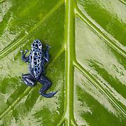 Captive Blue Poison Dart Frog (Dendrobates  tinctorius)