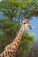 Giraffe chewing bones, Marataba Private Game Reserve, Limpopo, South Africa