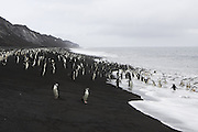 Chinstrap Penguin<br /> Pygoscelis antarctica<br /> On shore<br /> Bailey Head, Deception Island, Antarctica