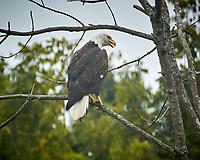 Bald Eagle. Image taken with a Nikon N1V3 camera and 70-300 mm VR lens (ISO 160, 300 mm, f/6.3, 1/320 sec)
