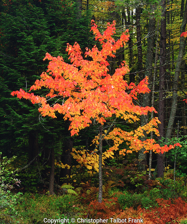 USA, New York, Adirondack Park, Autumn Maple trees.
