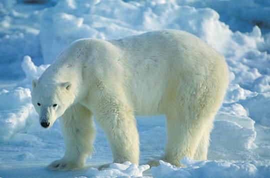 Polar Bear, (Ursus maritimus) Portrait of adult on frozen shores of Churchill, Manitoba. Canada.