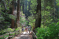 Muir Woods is world famous for its redwoods, Sequoia sempervirens. it is  located in the midst of a metropolitan region just eight miles north of San Francisco. 201304302186<br /> <br /> Copyright Image from Victor Patterson,<br /> 54 Dorchester Park, <br /> Belfast, UK, BT9 <br /> <br /> t1: +44 28 9066 1296 (from Rep of Ireland 048 90661296)<br /> t2: +44 28 9002 2446 (from Rep of Ireland 048 9002 2446)<br /> <br /> m: +44 7802 353836<br /> <br /> e: victorpatterson@me.com<br /> www.victorpatterson.com<br /> <br /> Please see my Terms and Conditions of Use at www.victorpatterson.com. It is IMPORTANT that you familiarise yourself with them.<br /> <br /> Images used on the Internet must be visibly watermarked i.e. © Victor Patterson<br /> within the body of the image and copyright metadata must not be deleted. Images <br /> used on the Internet have a size restriction of 4kbs and will be chargeable at current<br />  NUJ rates unless agreed otherwise.<br /> <br /> This image is only available for the use of the download recipient i.e. television station, newspaper, magazine, book publisher, etc, and must not be passed on to any third <br /> party. It is also downloaded on condition that each and every usage is notified within 7 days to victorpatterson@me.com<br /> <br /> The right of Victor Patterson to be identified as the author is asserted in accordance with The Copyright Designs And Patents Act (1988). All moral rights are asserted.