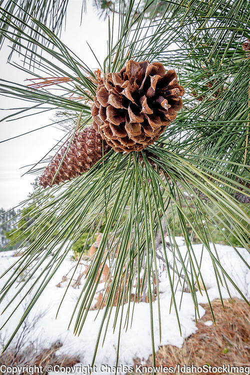 Pine cone and needles in snow.