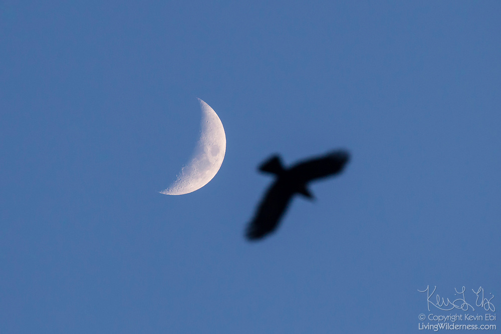 An American crow streaks across the sky next to the crescent moon.