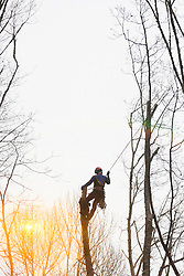 Tree surgeon. Arborist cutting trees. Climbing on tree-trunk and holding rope.