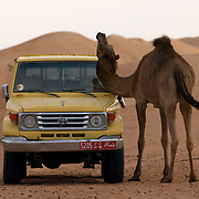 Oman, Wahiba Sands. January/24/2008...Cats use trees, and camels use... SUVs? Aching for a scratch, a camel finds a convient use for a vacant land cruiser.