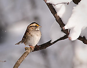 Snow had built up on the branches except where they were protected from above.  This provided some protection for this white-throated sparrow and it sat for a while.