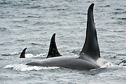 Resident Orca or Killer Whale, Orcinus orca, swims in the Inside Passage in Vancouver Island, British Columbia, Canada