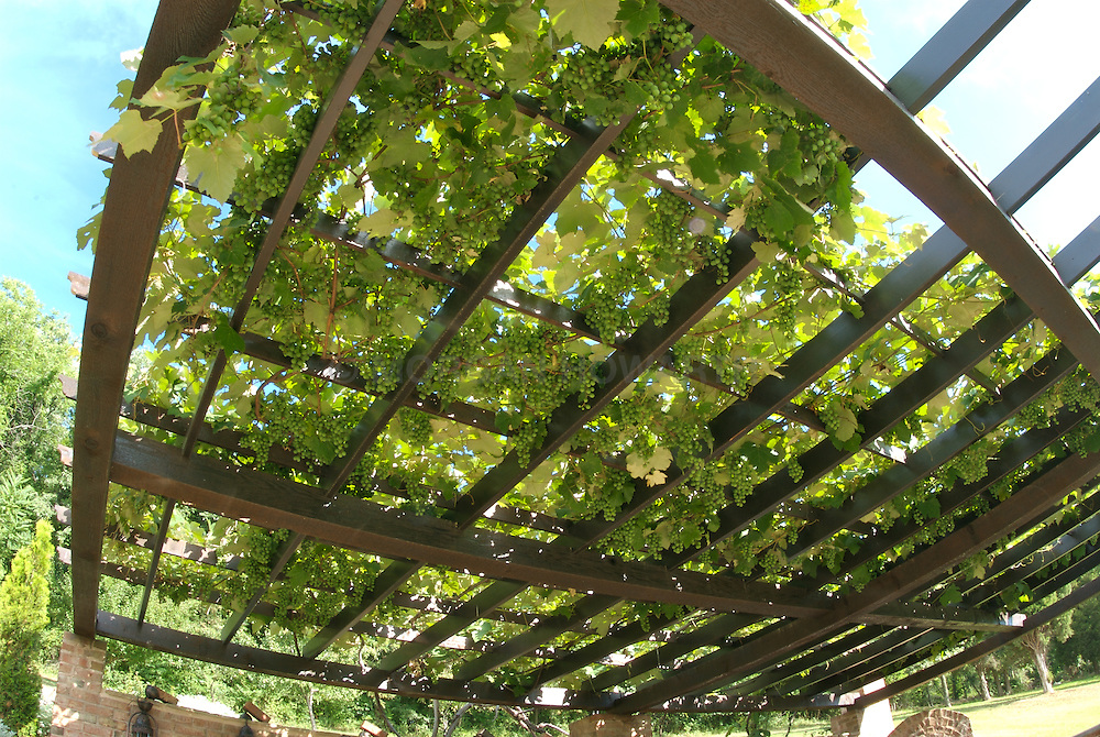 Wine grapes on pergola