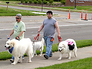 Mike Natale of Carlisle with his five-year-old rescue dog Bandit, Great Pyrenees (left) and Jeremy Natale of Kettering with three-year-old Great Pyrenees Bella and Buttercup during the Humane Society of Greater Dayton's Furry Skurry at Miami Valley Hospital South in Centerville, Saturday, May 12, 2012. Mike fostered Bandit for a year, now they're adopting him.