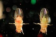 Wild type Fruit Fly (Drosophila melanogaster) in a lab culture. Animals were fed with green and red food   | Bei Bedarf können die Wissenschaftler im Labor die Taufliegen (Drosophila melanogaster) farblich markieren, indem sie ihnen mit Lebensmittelfarben z.B. grün oder rot gefärbten Futterbrei geben. Durch das transparente Außenskelett hindurch kann man dann diese Farbe im hinteren Verdauungstrakt der Fliege erkennen.