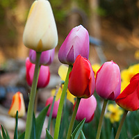 A group of colorful tulips with a few daffodils in the mix.  The photo was taken in Hartland, Wisconsin.