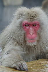 A snow monkey sits on the edge of a hot spring in Japan.