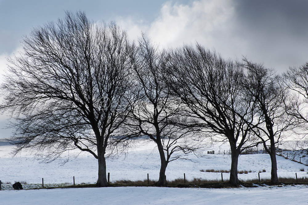 Line of windswept European beeches (Fagus sylvatica) in snow covered field in Barr, South Ayrshire, Scotland.