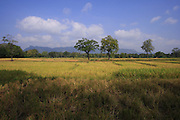 Rice field and harvest, Pokutenna, Sri Lanka
