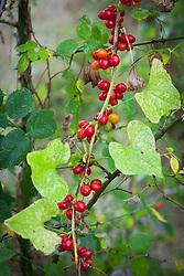Black Bryony berries. Tamus communis