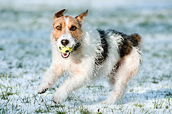 one black, white and tan Jack Russell terrier dog retrieving a ball in a snow covered park <br />