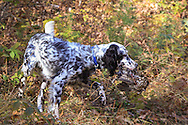 A young English setter retrieves a ruffed grouse during a hunt in northern Wisconsin.