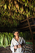 Pedro Scala el Vaquero inside a inside a small tobacco drying hut in Valle de Viñalles, where the leaves are brought inside to hang for 50 days changing color from green to yellow to brown.