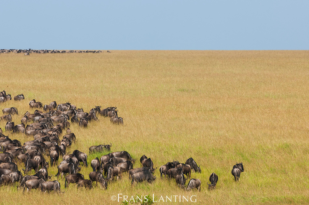Wildebeest herd grazing during annual migration, Connochaetes taurinus, Masai Mara National Reserve, Kenya