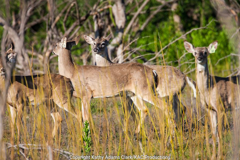 White-tailed deer; Odocoileus virginianus in Laredo, Texas in spring.
