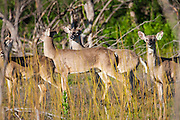 White-tailed deer; Odocoileus virginianus in Laredo, Texas in spring.