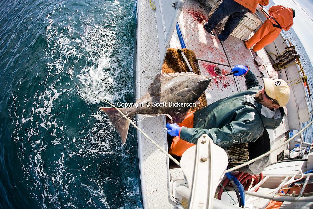Buck Laukitis pulls aboard a halibut while commercial longline fishing near the Aleutian Islands, Alaska.