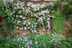 Rosa 'Rambling Rector' on a wall in the rose garden at Mottisfont with geraniums in the border in front