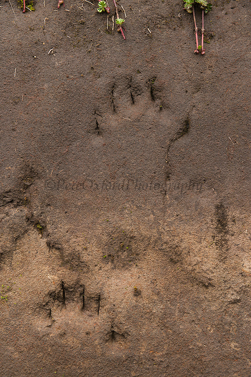 Spectacled bear claw marks<br /> climbing up a vertical wall<br /> Tracking collared Spectacled Bear with radio telemetry<br /> Cayambe Coca Ecological Reserve<br /> Andes<br /> ECUADOR, South America