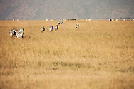 A dazzle of Zebras in the Masai Mara National Reserve, Kenya, Africa