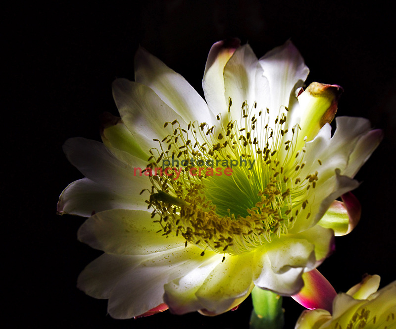 Light painting of a cactus flower