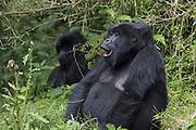 Mountain Gorilla<br /> Gorilla gorilla berengei<br /> Virunga Volcanoes National Park, Rwanda<br /> *Endangered Species