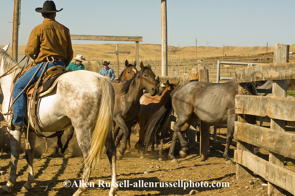 Cowboys working in corrals separating horses, Montana