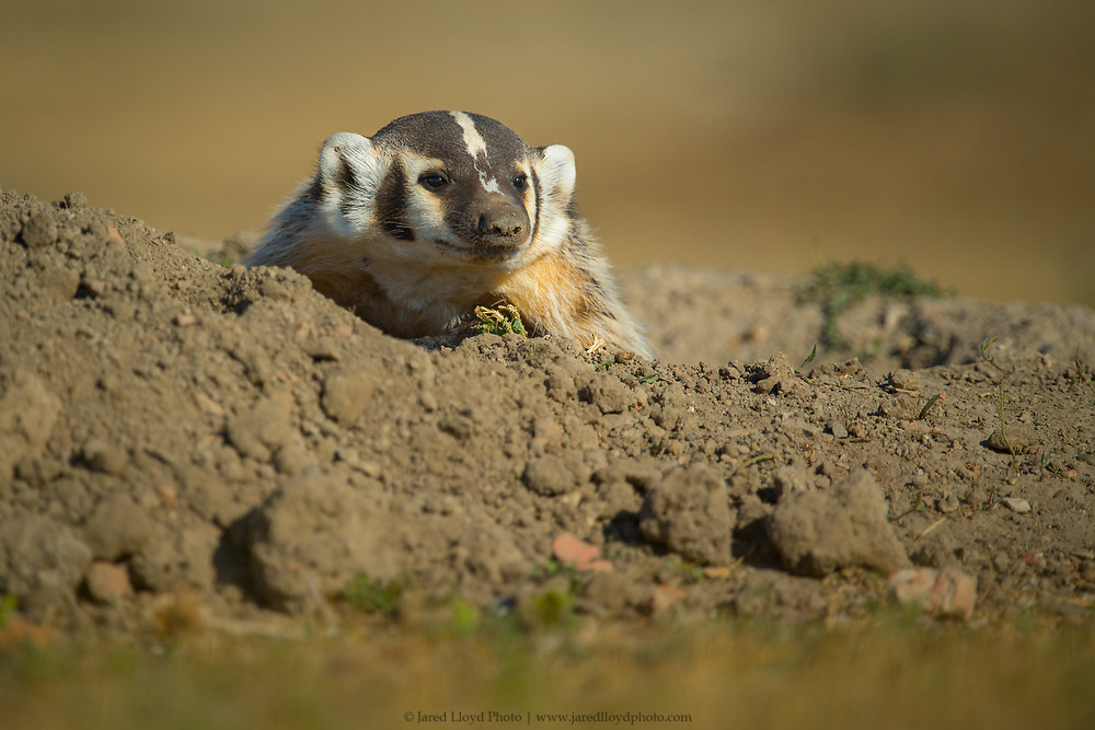 a young badger peaks out of its burrow inside of a prairie dog town