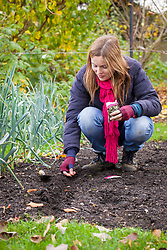 Sowing broad beans in a drill in the ground in autumn. Vicia faba