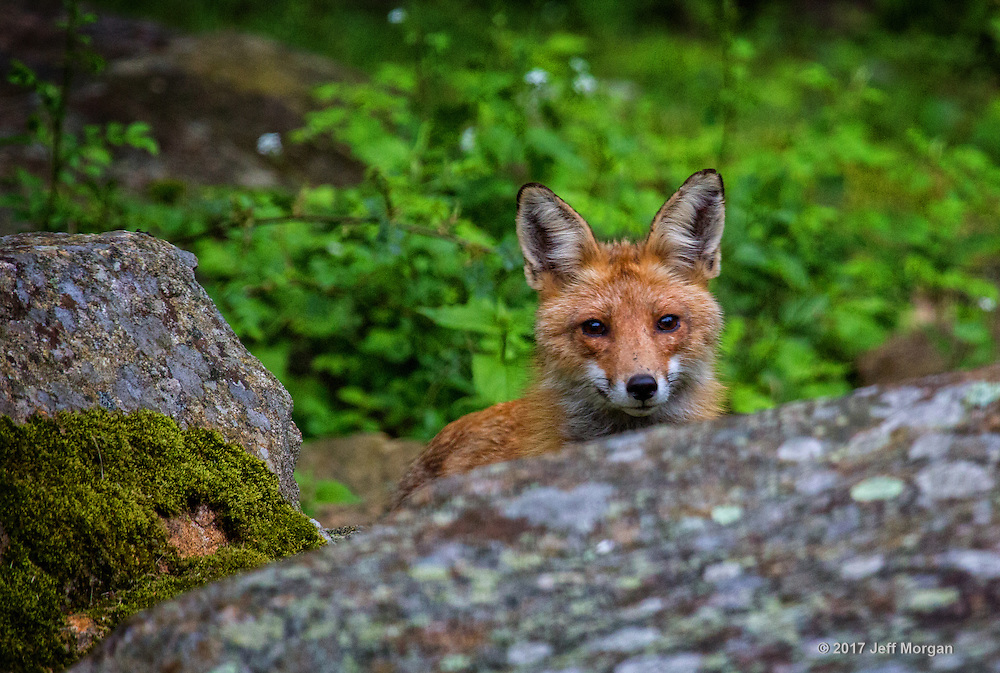 An adult female Red Fox peeking from behind the cover of a large boulder.