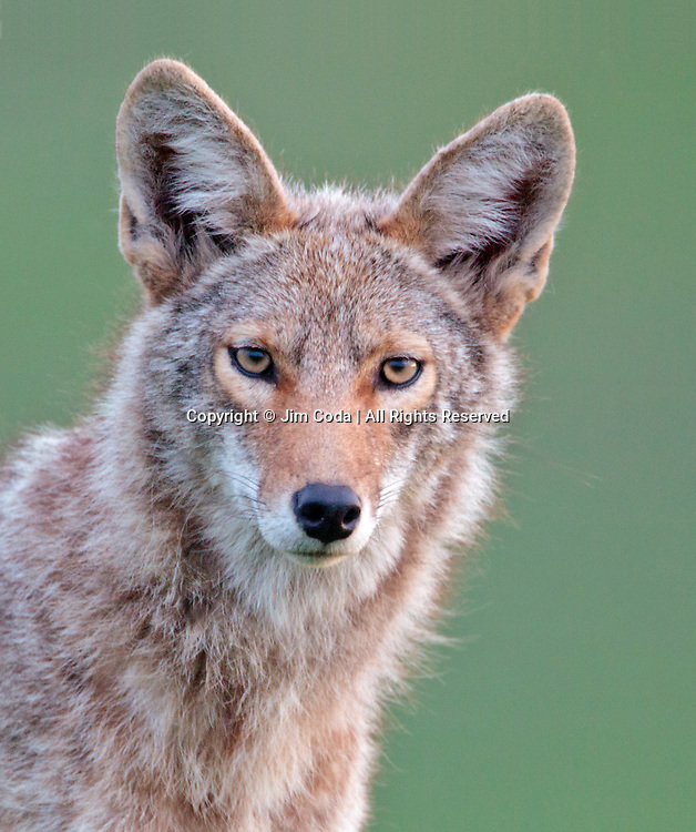 A coyote stares at the camera.