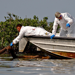 BP Plc contract workers pull up oiled absorbent boom from the banks of a small barrier island located in Bay Ronquille which is located east of the coast of Grand Isle, Louisiana, U.S., on Tuesday, June 15, 2010.  Oil from Deepwater Horizon spill continues to impact areas across the coast of gulf states. (Mandatory Credit: Derick E. Hingle).