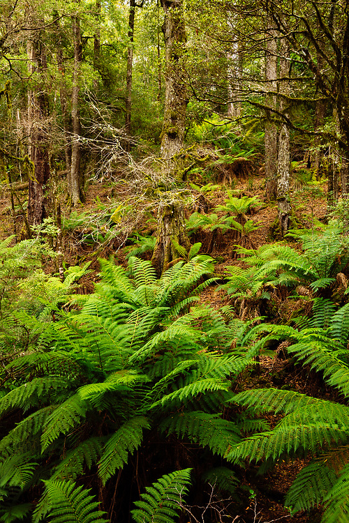 Old temperate rainforest of Soft Tree Fern's growing underneath a grove of Antarctic Beech. Barrington Tops National Park.