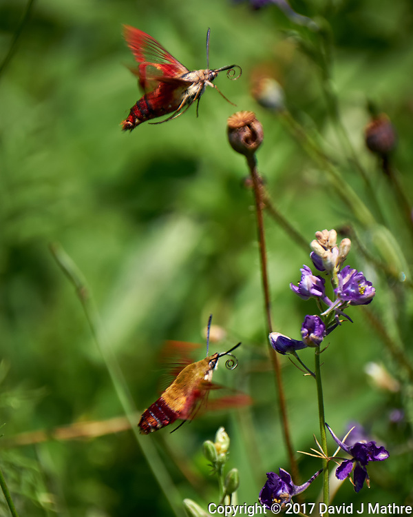 Pair of clearwing hummingbird moth in flight. Backyard summer nature in New Jersey. Image taken with a Fuji X-T2 camera and 100-400 mm OIS telephoto zoom lens (ISO 200, 400 mm, f/5.6, 1/600 sec).