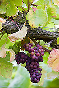 Pinot Noir grapes growing on grapevines for British wine production at The Three Choirs Vineyard, Newent, Gloucestershire